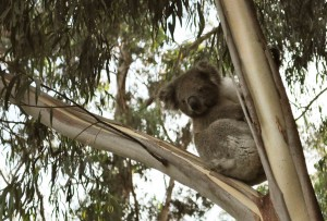 Koala looking down