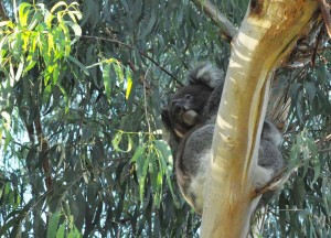 Koala from below