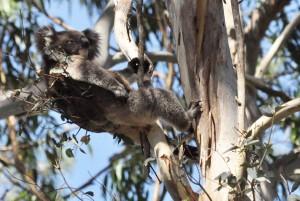 Koala in a tree fork