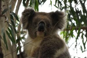 Mummy Koala