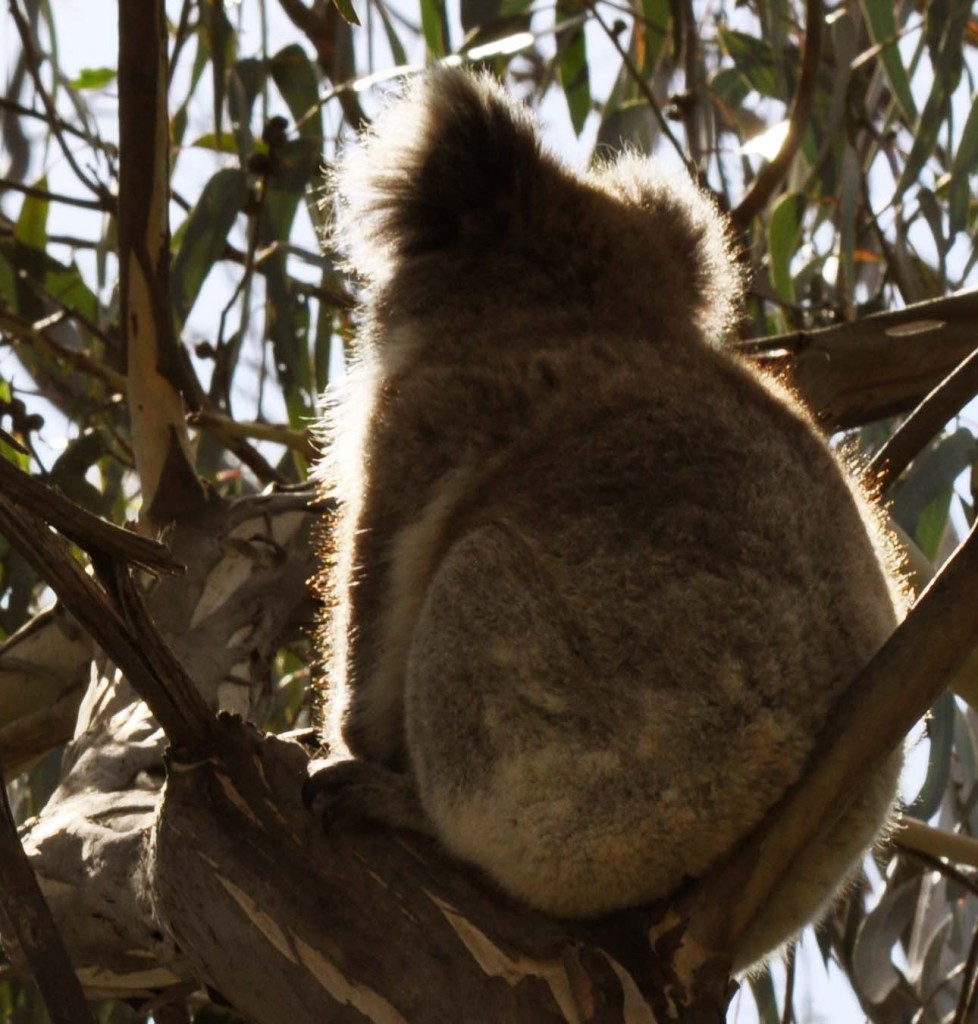 Glowing Koala