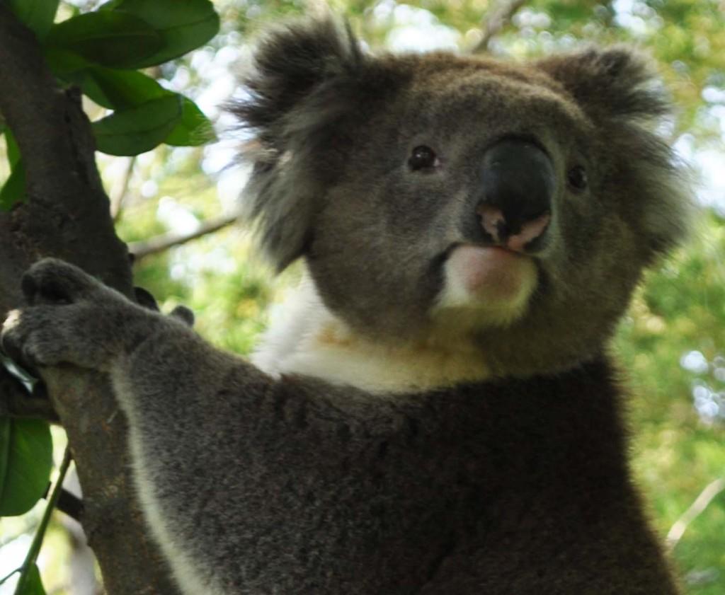 Very close koala