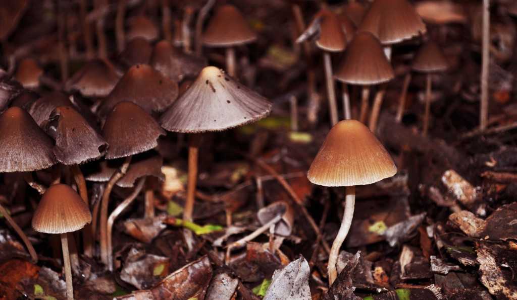 Brown Toadstools