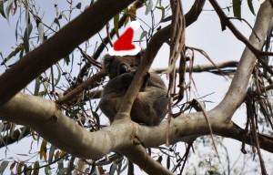 Santa Koala
