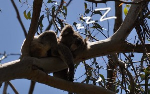 Koala sleeping off a big night