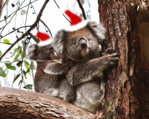 Baby Koala and Mum in Christmas Hats