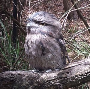 Tawny Frogmouth - not an owl but looks just as wise.
