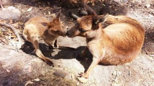 Mother and Joey – Kangaroo Island kangaroos