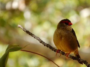 Red banded finch
