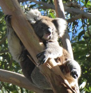 Koala hanging out in a gum tree.