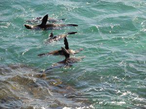Rottnest island seals