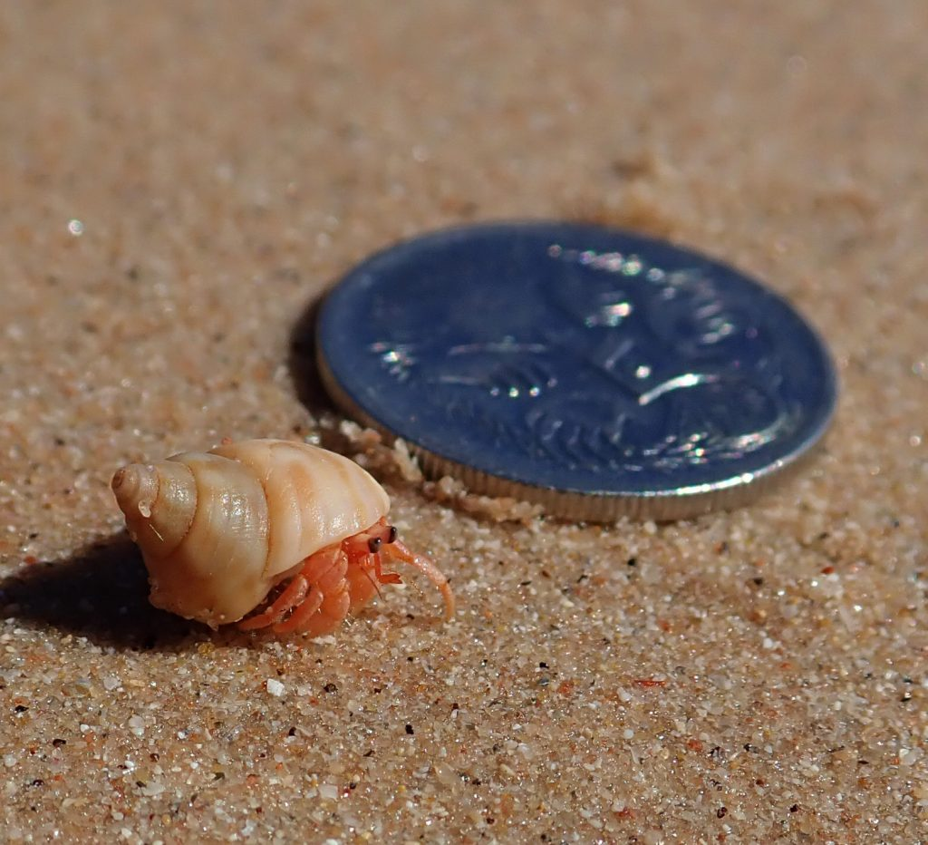 Tiny-tiny hermit crab on cable beach. I was getting changed behind a rock and suddenly all the shells got up and walked away!