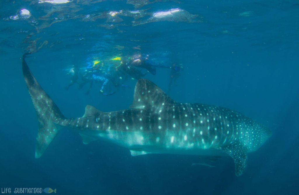 Kings Ningaloo Reef Tour - Swimming with whale sharks