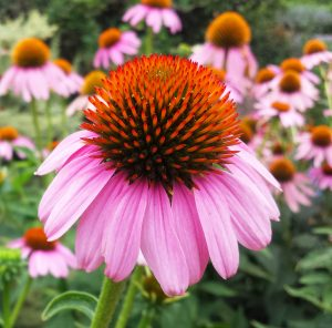 Echinacea in the medicinal garden.