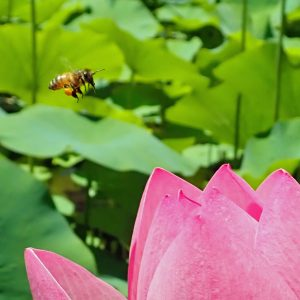 Bee about to dine on the lotus flower pollen.